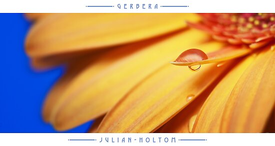 Orange Gerbera by Julian Holtom