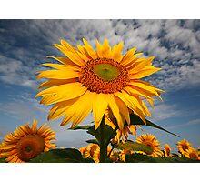 Sunflower morning . Photographic Print