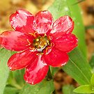 Wet Red Zinna by Tracey Hampton