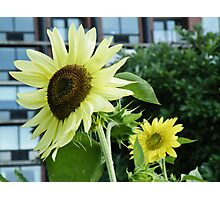 Sunflower Grows In Tribeca Photographic Print