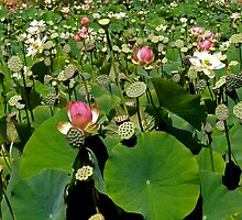 Countless Sacred Lotus Lilies by Patty Boyte