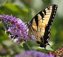 'Tiger Swallowtail on Buddlea' by Scott Bricker