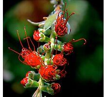 Emerging Bottle Brush Flower Photographic Print