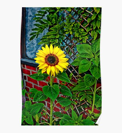 Sunflower in my Garden Poster