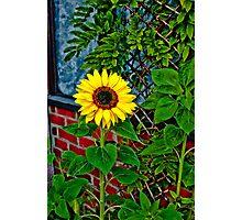 Sunflower in my Garden Photographic Print