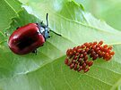 Chrysomela populi with eggs by jimmy hoffman