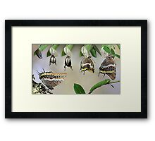 life-cycle of Charaxes jasius Framed Print