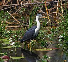 Pied Heron by Robert Elliott