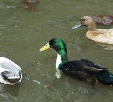 Three Ducks with Lilies by Leane Stitzinger