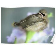 CEDER WAXWING BIRD Poster
