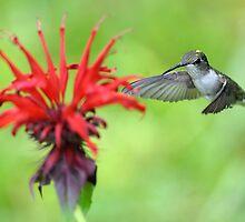 Hummingbird by okcandids