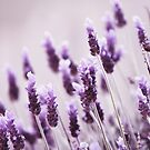 Lavender by Kelvin  Wong