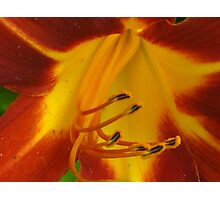 Burgandy day lily Photographic Print