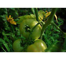 Green tomato's  Photographic Print