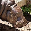 Pygmy Hippopotamus. Edinburgh Zoo. by Finbarr Reilly