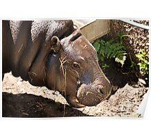Pygmy Hippopotamus. Edinburgh Zoo. Poster