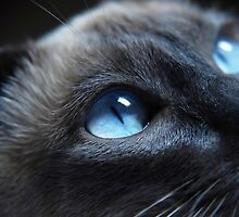 Cat by beautiful blue eyes by Marco7r7