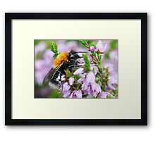 Bumble bee in Heather Framed Print