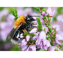Bumble bee in Heather Photographic Print
