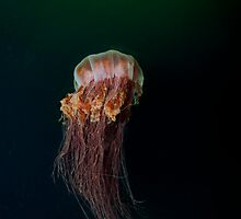 Lions Mane Jellyfish by Greg Amptman
