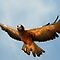 Swainson&#x27;s Hawk - Soaring by Ryan Houston
