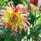 dahlia flower bed by Cornelia Togea