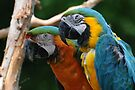 Macaws by Lynda  McDonald