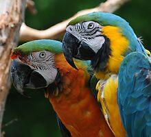 Macaws by Lynda   McDonald