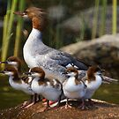 Merganser Family by Jane Best