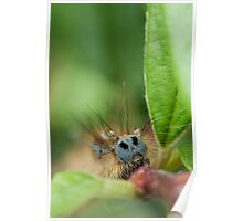 Lackey Moth Caterpillar Poster