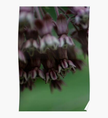 Purple Rainbells Poster