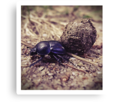 Not a dung beetle... Canvas Print