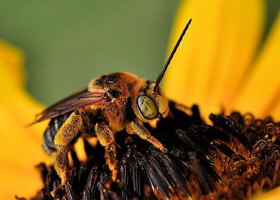 Long-Horned Bee by Dennis Stewart