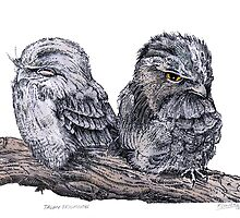 the Tawny Frogmouth by SnakeArtist