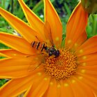 Hover Fly on Gazania by Detlef Becher