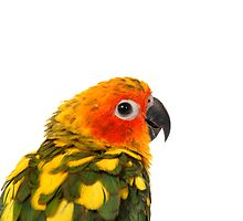 Sun Conure by Misti Love