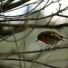 Scarlet Robin by Kristi Robertson