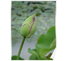 green & pink lotus bud Poster