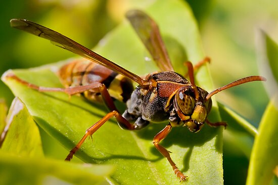Wasp checking you out by Richard Majlinder