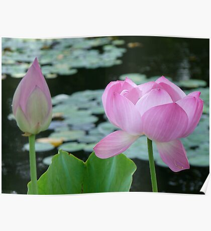 pink lotus with bud Poster