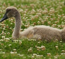Cygnet in the Grass by Jonathan Cox