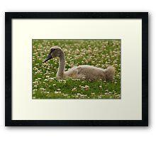 Cygnet in the Grass Framed Print