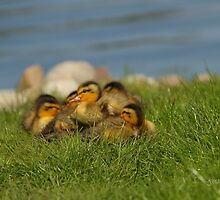 Ducklings in the Grass by Jonathan Cox