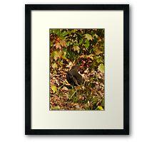Mrs Blackbird Framed Print