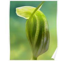 DWARF GREENHOOD ORCHID Poster