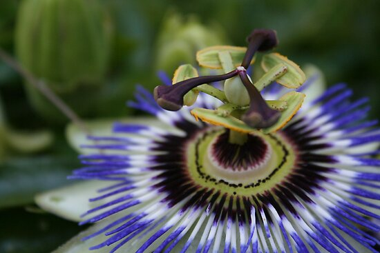 Passion Flower by stephenmark photography