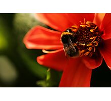 Bumble bee. Photographic Print
