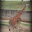 Giraffe/Abilene Zoo by jujubean