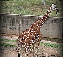 Giraffe/Abilene Zoo by jujubean