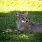 coyote beauty by Bonnie Pelton